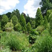 Κωνοφόρα δέντρα